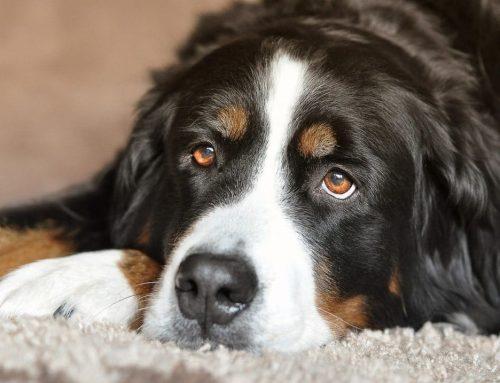 Waar op te letten bij de aankoop van hondenvoer